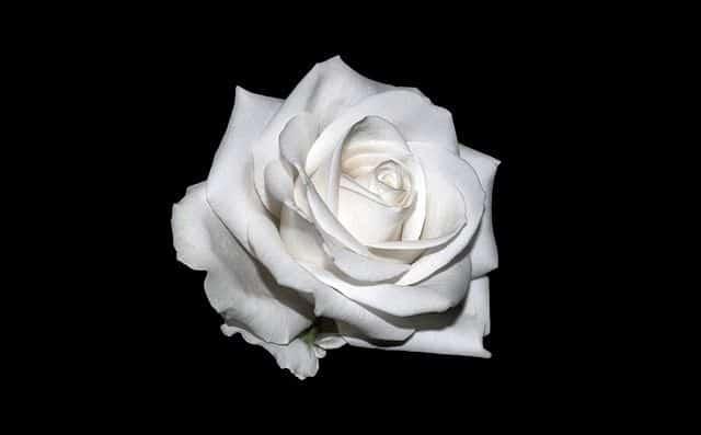 Significado color de las rosas florister a funeraria - Significado rosas blancas ...