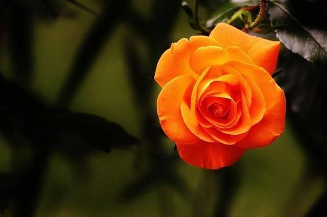 Significado color de las rosas naranjas
