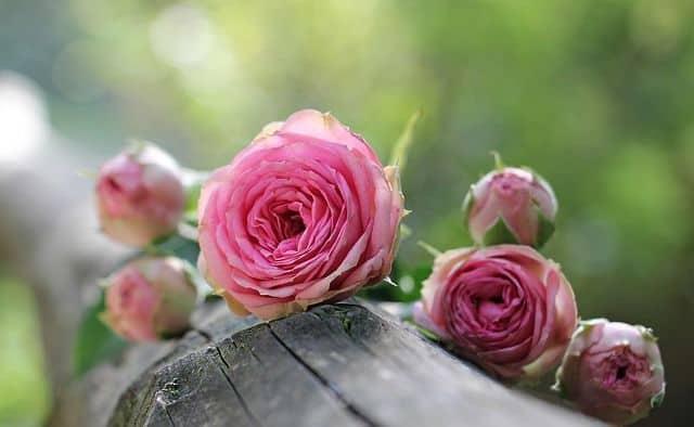 Significado color de las rosas florister a funeraria - Color rosas significado ...
