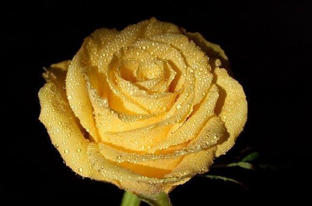 significado color de las rosas amarillas