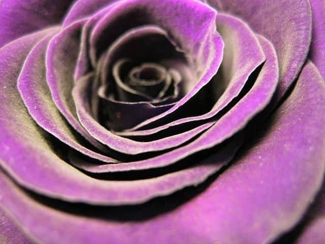 significado color de las rosas violetas