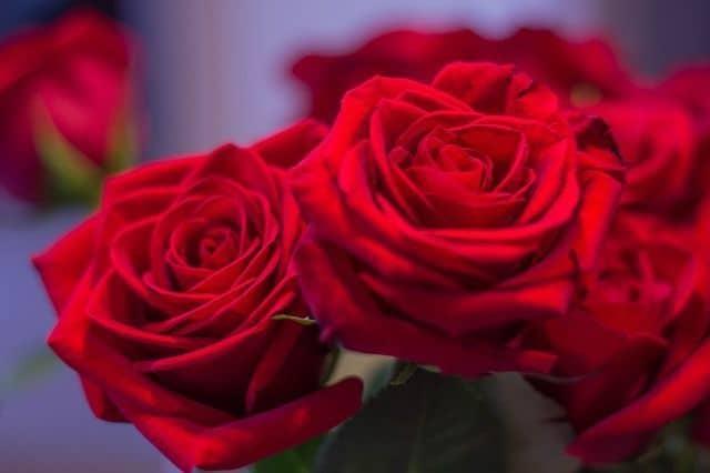rosas rojas para funerales aromas
