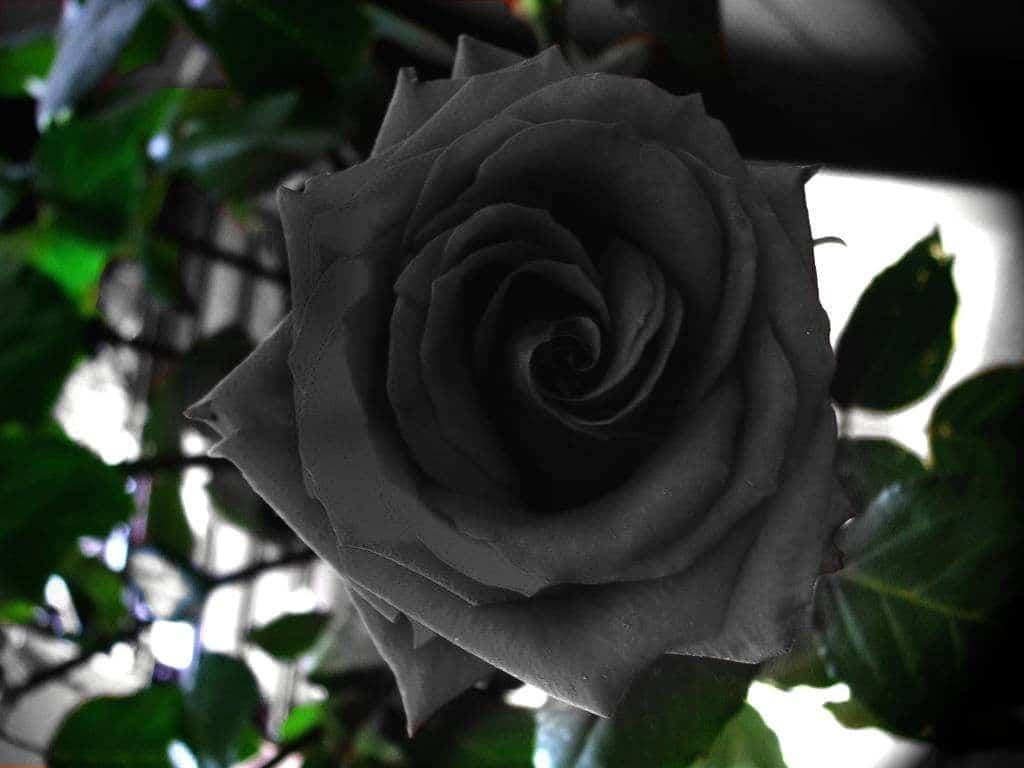 rosas negras existencia
