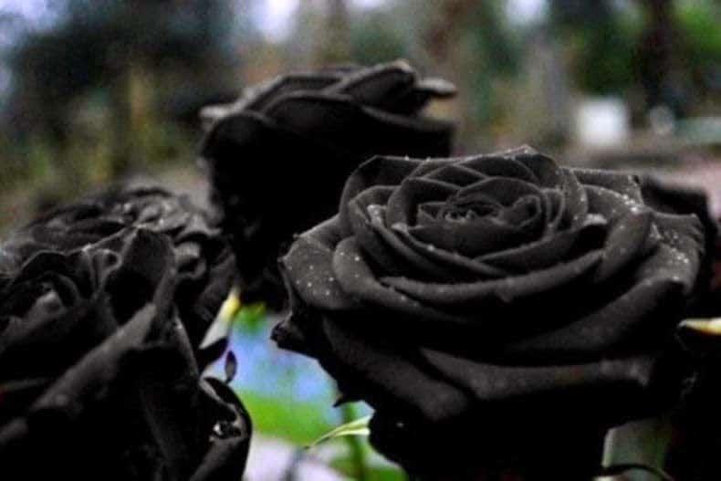 rosas negras real