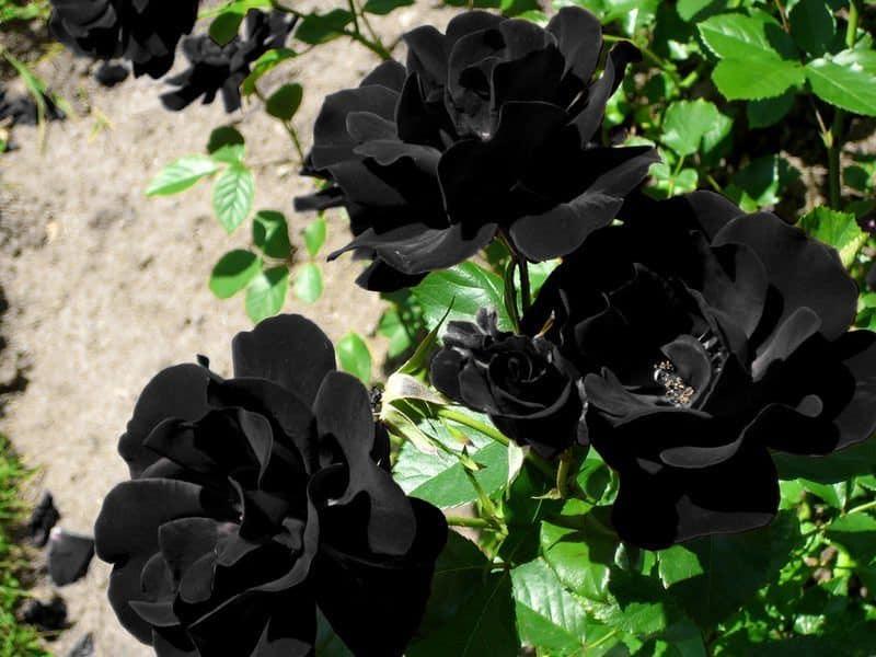 rosas negras verdaderas