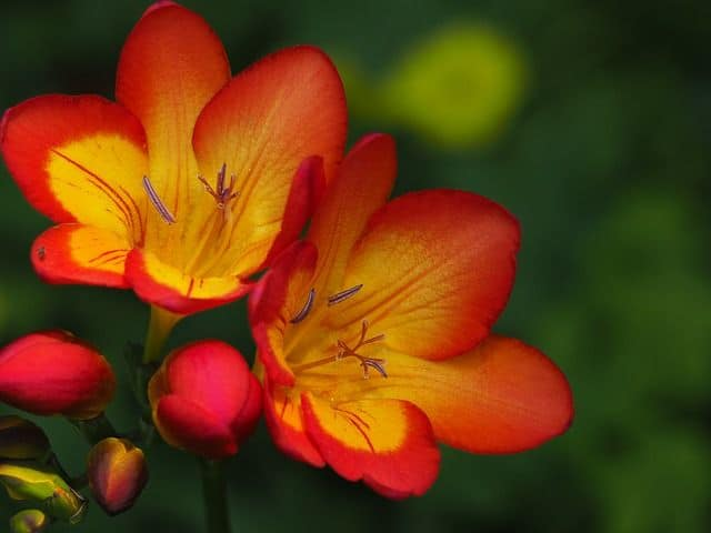 Africana Freesia Refracta flores bonitas