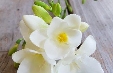 Africana Freesia Refracta flores para funerales