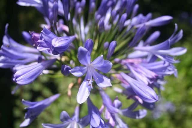 Agapanto como flor funeraria