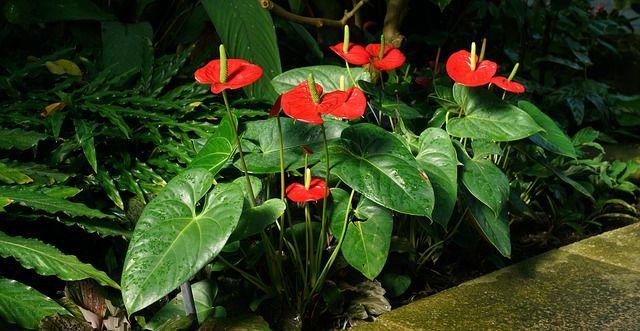Anturio flores bonitas colores rojos