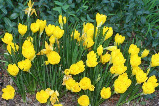 Azucena amarilla planta