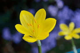 azucena amarilla flores bonitas y hermosas