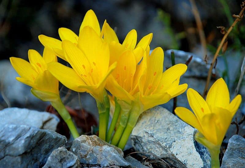 azucena amarilla flores bonitas