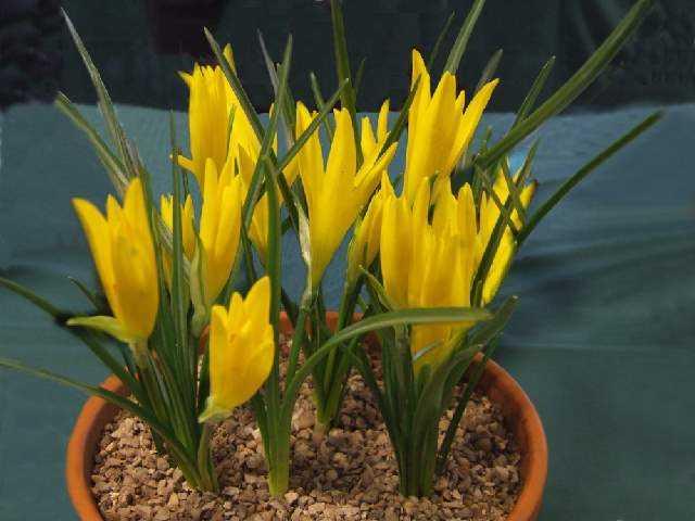 azucena amarilla maceta