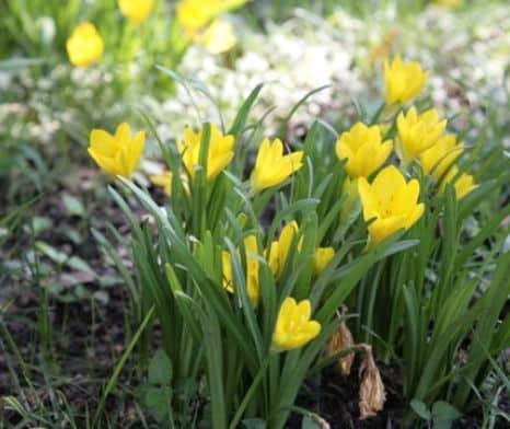 azucena amarilla naturaleza