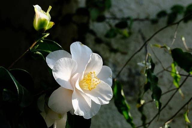 camelia flor blanca hermosa