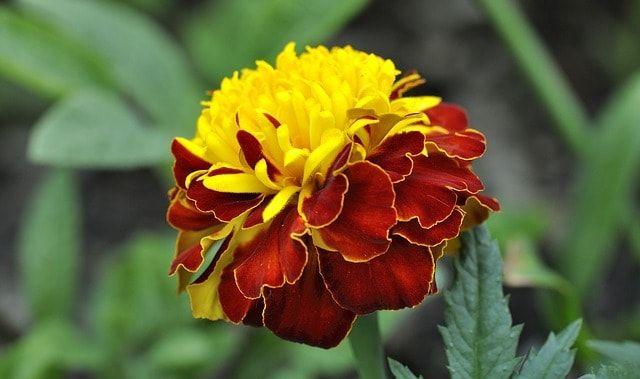 clavel hermoso color
