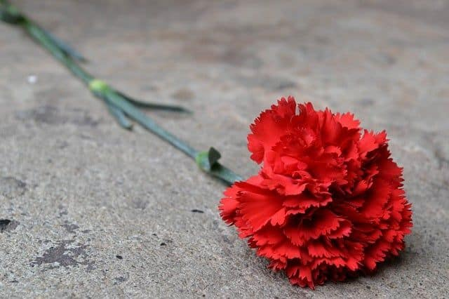 clavel rojo con tallo