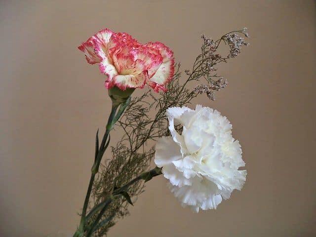 clavel rosa y blanco