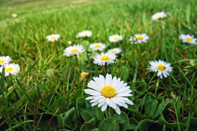 margarita flor
